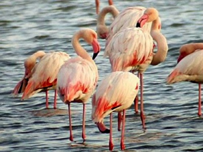 Flamingos on Lesvos