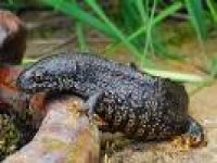 Great crested newts