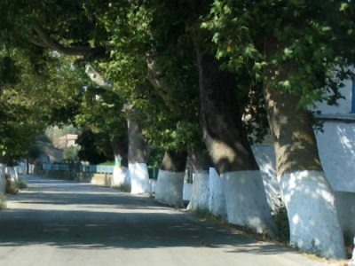 Greek plane trees under threat