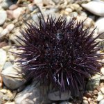 Greek sea urchin