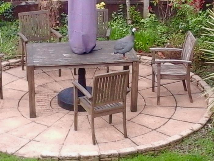 Guinea fowl (1)