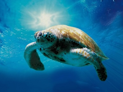 Loggerhead turtles in danger
