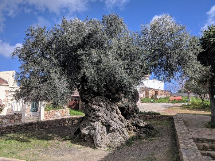 Olive tree of Vouves Crete