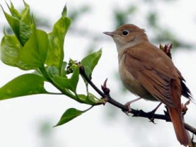 page-nightingales