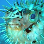 Poisonous puffer fish