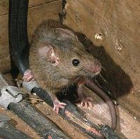 rat-mice-damage