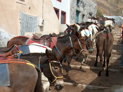 Santorini donkeys can get poorly treated