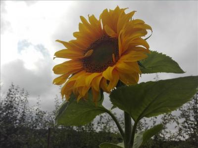 secret sunflower sower 9