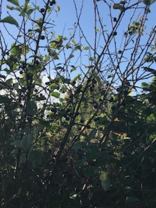 Sloes in the woodland