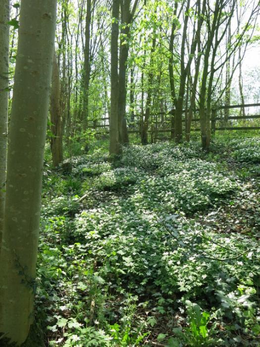 Spring in Tarvin Woodland Img_6925