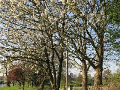Springtime in Tarvin Img_5586