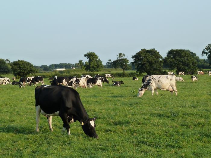 Street Farm Cows