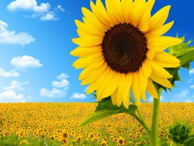 Sunflower for adults