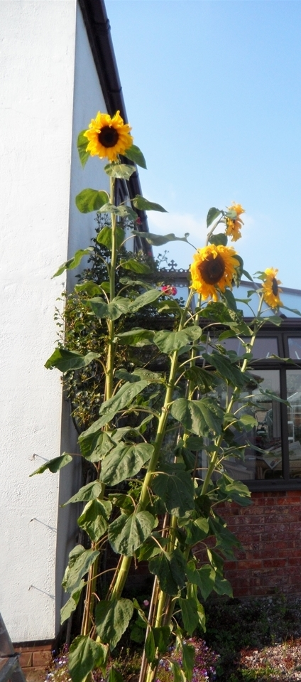 sunflowers -tall cropped