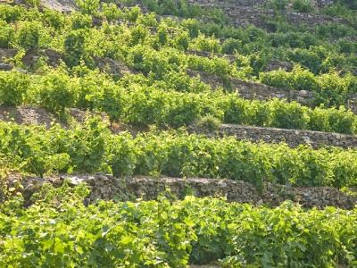 The hillside vineyards of Samos